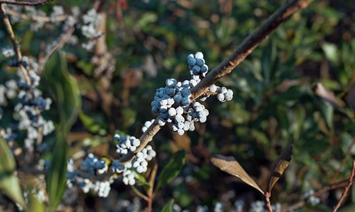 Bayberry Candle Tradition - bush