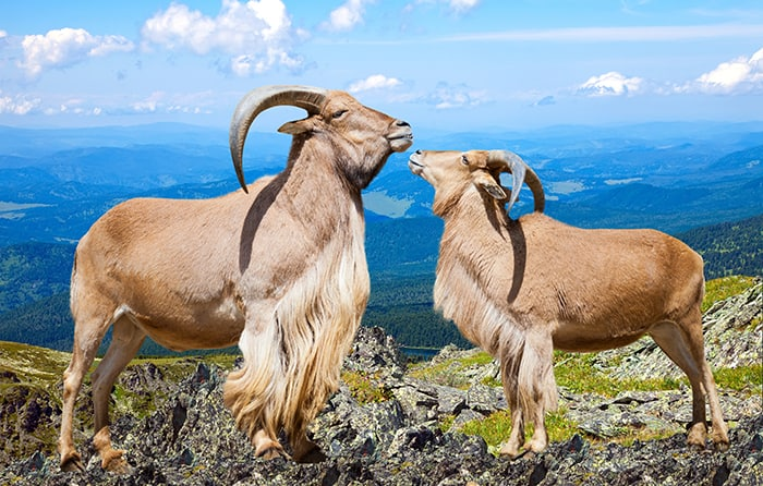 Capricorn Compatibility - Pair of Goats on Mountaintop