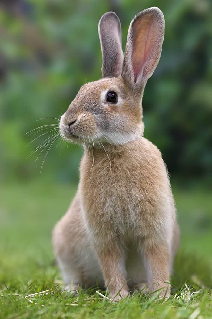 Ostara - Rabbit sitting