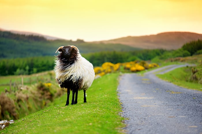 Aries Personality Traits - Ram in Gras Near Field and Road