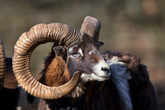 Aries Personality Traits - Ram