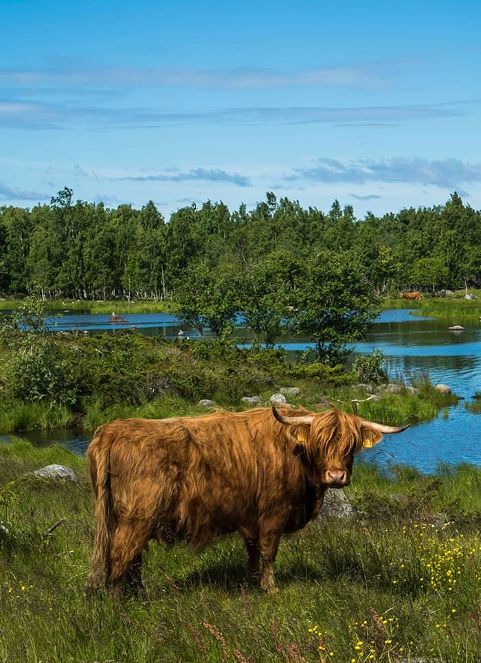 Taurus Personality Traits - bull near water