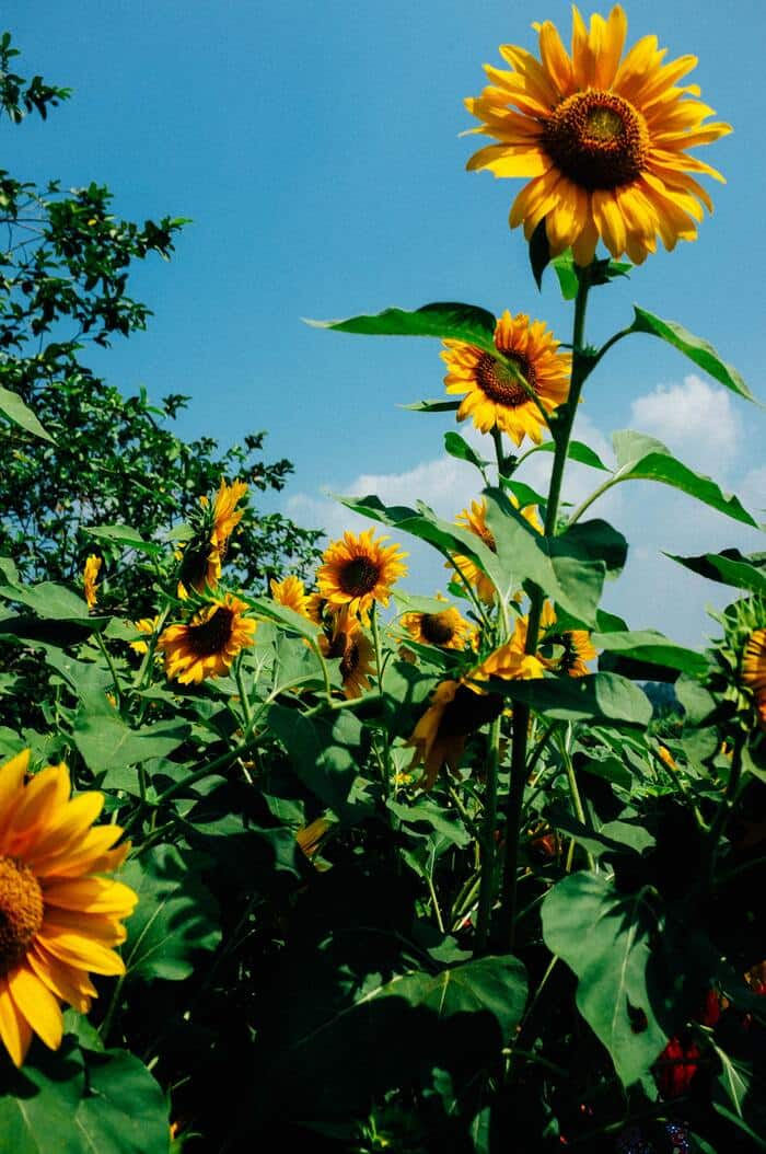 Litha - Sunflowers