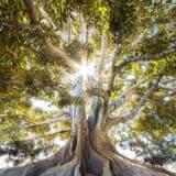 Litha - Large Tree with Sunburst