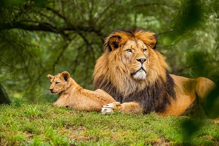 Leo Symbol - Lion