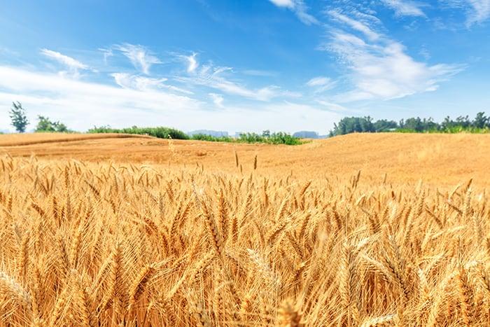 Lughnasadh - Wheat Field with Blue Sky